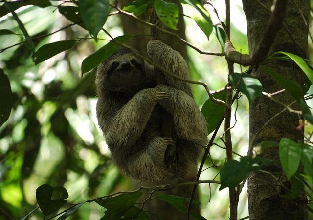 En sengångare i djungeln i Costa Rica