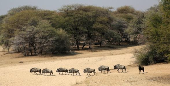 Flockdjur på savannen